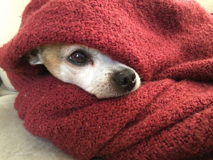 chien dans une couverture